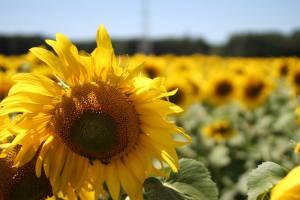 romania 2013-sunflowers